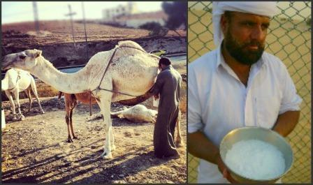 Exploring the DromeDairy: Camels and Their Milk