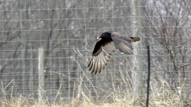 A Turkey Buzzard flies along a farm field in West Amwell, N.J., Monday, March 11, 2013. Large numbers of buzzards have been roosting in neighborhoods recently causing complaints. In Bridgewater Monday, wildlife officers hoisted a vulture's carcass into a tree in a tried-and-true method of driving away flocks of damaging buzzards. (AP Photo/Mel Evans)
