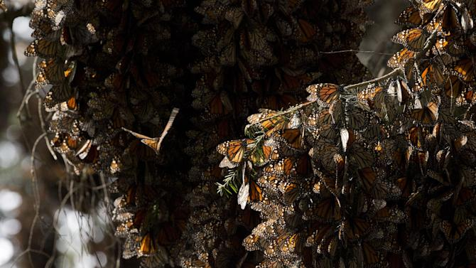 FILE - In this Jan. 4, 2015 file photo, a kaleidoscope of Monarch butterflies cling to tree branches, in the Piedra Herrada sanctuary, near Valle de Bravo, Mexico. The number of Monarch butterflies that reached wintering grounds in Mexico has rebounded 69 percent from last year's lowest-on-record levels, but their numbers remain very low, according to a formal census by Mexican environmental authorities and scientists released Tuesday, Jan. 27, 2015. (AP Photo/Rebecca Blackwell, File)