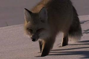 Adopt a Pet Fox, for Science's Sake