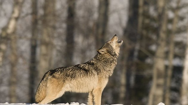 Why do Wolves Howl? Love, Scientists Say (ABC News)