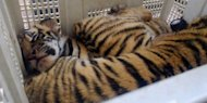 Rescued tiger cubs at a police station in Vietnam's Ha Tinh province last month. A Thai man has been arrested with 16 tiger cubs in his pick-up truck while driving near the kingdom's border with Laos, police said Saturday