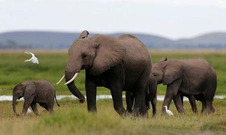 Africa forest elephants may take almost a century to recover from poaching-study