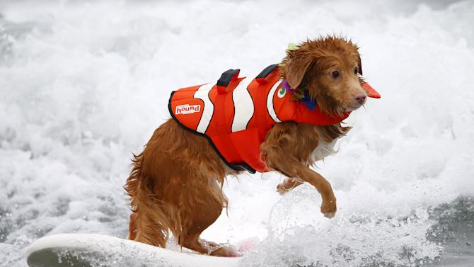 Nova Scotia duck tolling retriever Torrey competes in the 10th annual Petco Unleashed surfing dog contest at Imperial Beach, California