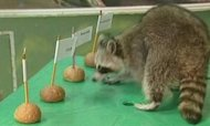 'Psychic' Raccoon's Olympic Prediction