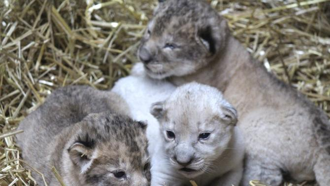 A rare white lion cub is seen in a handout picture released by the Omaha Henry Doorly Zoo and Aquarium in Omaha