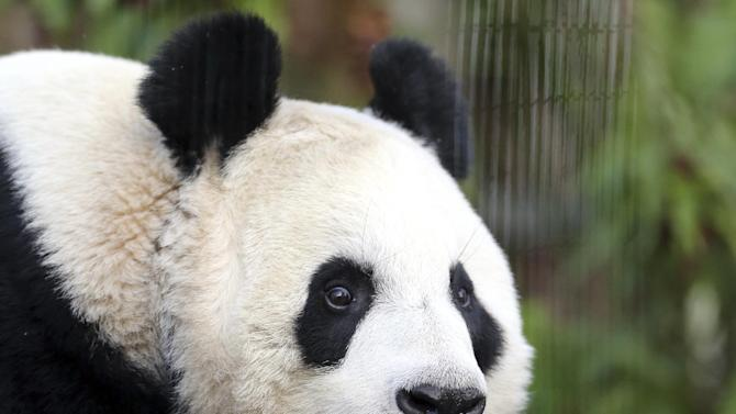 FILE- This is a Monday, Dec 16, 2013 file photo of giant panda named Tian Tian, seen exploring her enclosure at Edinburgh Zoo in Edinburgh, Scotland. Officials at Edinburgh Zoo said Tuesday Aug. 12, 2014 they believe a female giant panda is finally pregnant after months of anticipation. The zoo said that the latest scientific data it has suggests that Tian Tian, Chinese for Sweetie, has conceived following artificial insemination in April and may give birth at the end of the month. However, officials cautioned y that they would not be certain until Tian Tian gives birth. (AP Photo/Scott Heppell/, File)