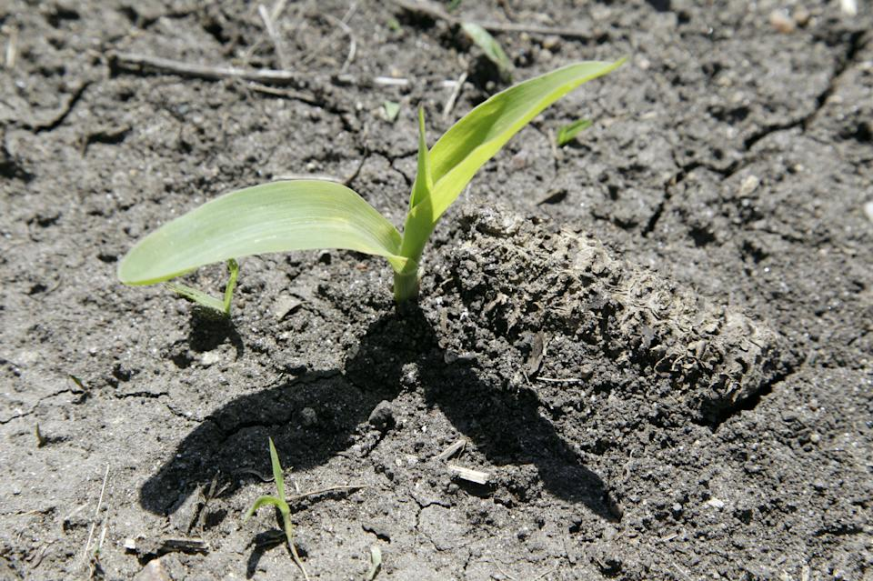 A corn plant grows in a field next to a corn cob from last year's crop, Thursday, May 10, 2012, near Ankeny, Iowa. The U.S. Department of Agriculture estimates a record corn crop this year, topping the previous high by 11 percent.(AP Photo/Charlie Neibergall)