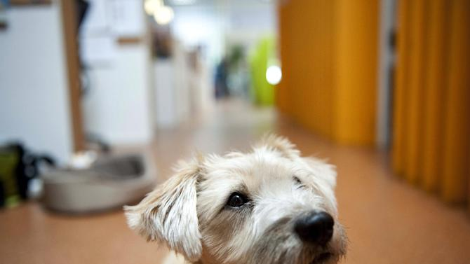 Sandy, a terrier mix, waits for a treat while at work with her owner at Authentic Entertainment in Burbank, Calif., Monday, June 11, 2012. Sandy is one of millions of dogs that accompany their owners to dog-friendly businesses across the country every day. Even more will join her next Friday for Take Your Dog to Work Day. (AP Photo/Grant Hindsley)