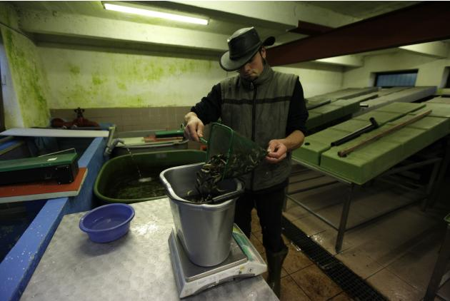 A fishermen weighs salmon fry in a hatchery near the German town of Nuestadt
