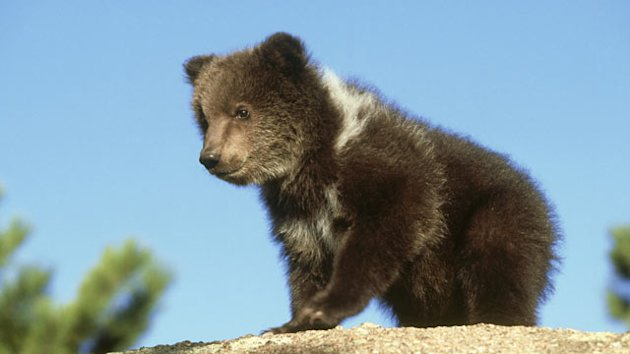 Grizzly Cub on the Loose (ABC News)