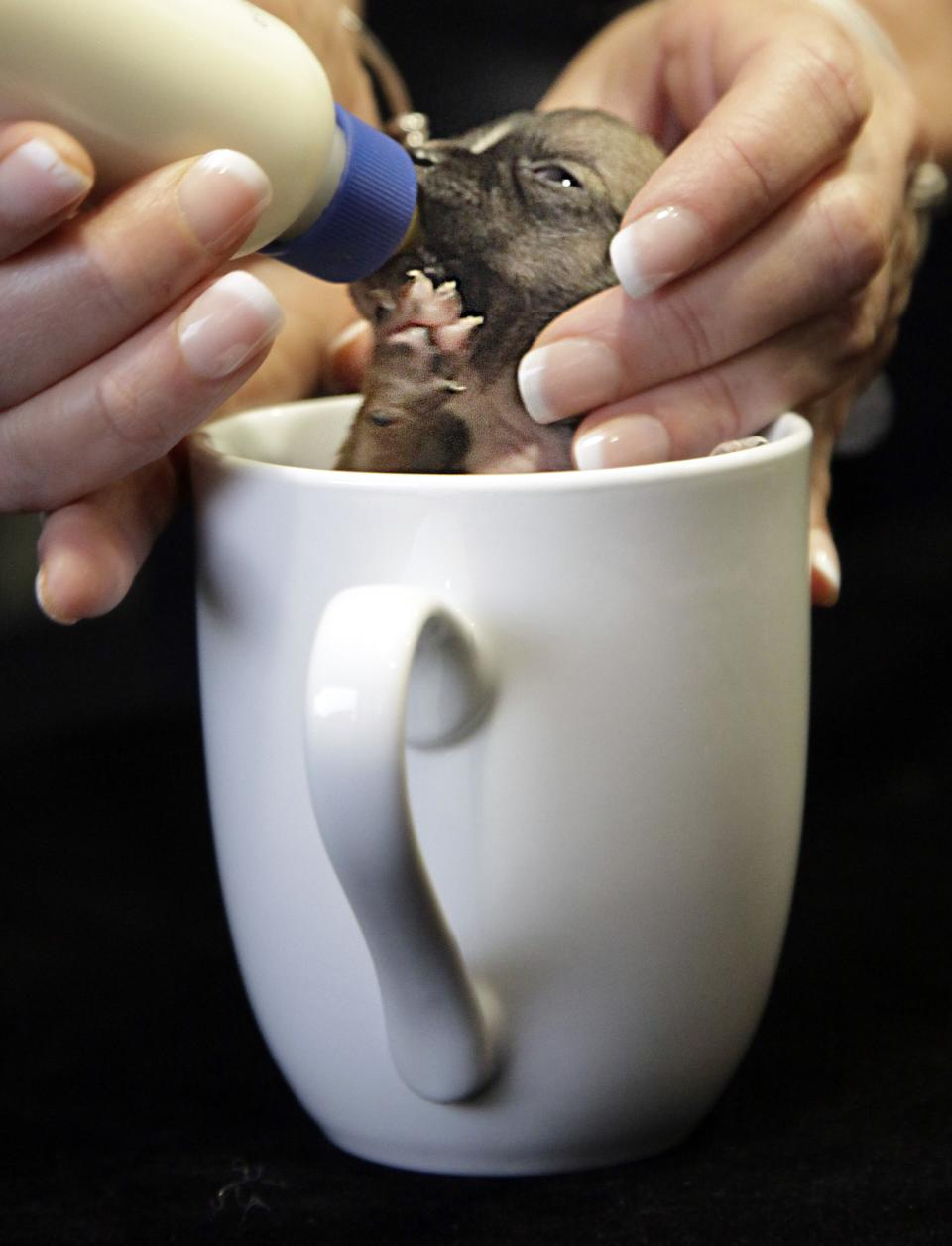 Beyonce, a Dachshund puppy vying for the title of World's Smallest Dog,  is fed in a coffee cup, during an interview on Wednesday, March 28, 2012 in New York.  Animal rescuers in Northern California say Beyonce was so small at birth that she could fit into a spoon.  (AP Photo/Bebeto Matthews)