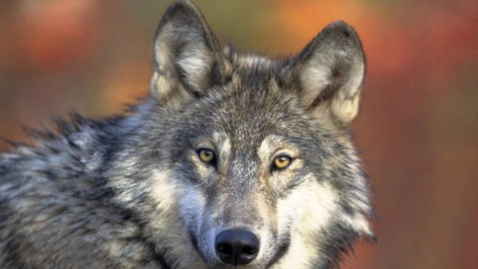 FILE - This April 18, 2008, file photo provided by the U.S. Fish and Wildlife shows a gray wolf. A federal judge on Friday, Dec. 19, 2014, threw out an Obama administration decision to remove the gray wolf population in the western Great Lakes region from the endangered species list — a decision that will ban further wolf hunting and trapping in three states. The order affects wolves in Michigan, Minnesota and Wisconsin. The U.S. Fish and Wildlife Service dropped federal protections from those wolves in 2012 and handed over management to the states. (AP Photo/U.S. Fish and Wildlife Service, Gary Kramer, File)