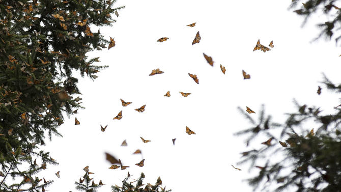 In this Jan. 4, 2015 photo, a swarm of Monarch butterflies fly between trees, in the Piedra Herrada sanctuary, near Valle de Bravo, Mexico. The population of the butterfly, that migrates thousands of miles each year from winter nesting grounds in Mexico, has been shrinking partly because farmers are growing more herbicide-resistant crops that have stripped millions of acres of milkweed they depend on to nourish them along their route. (AP Photo/Rebecca Blackwell)