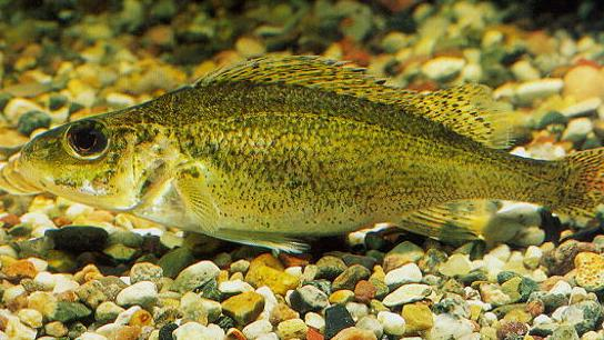 Eurasian ruffe DNA found in southern Lake Michigan