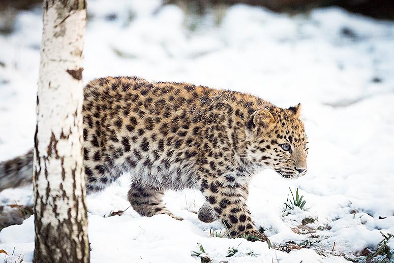 The World's Most Endangered Big Cat May Be on the Rebound