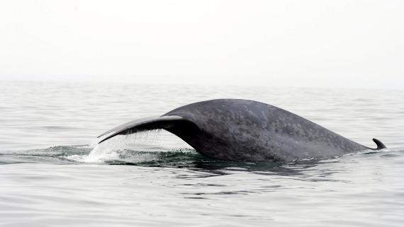 Military Sonar May Hurt Blue Whales