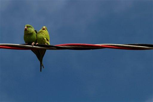 Two birds perch on wrapped electrical wires at Agro Brasilia, an agricultural exhibition on the outskirts of Brasilia, Brazil, Friday, May 18, 2012. (AP Photo/Eraldo Peres)