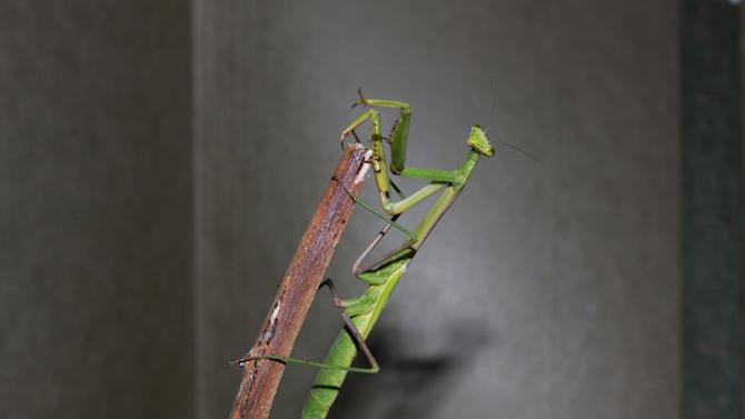 This undated photo provided by Yen Saw shows a Larger Florida mantis, Stagmomantis floridensis, in Katy, Texas.  Saw has been keeping mantises for nearly ten years, since his son got interested in them. One interesting aspect of keeping insects is that in a limited space and over a short time you can breed many generations. (AP Photo/Yen Saw)