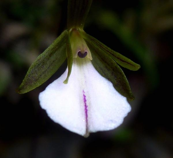 Caribbean Beauties: Two New Orchid Species Found