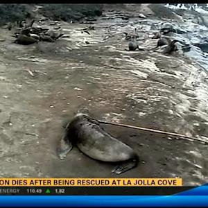 Sea lion dies after being rescued at La Jolla Cove
