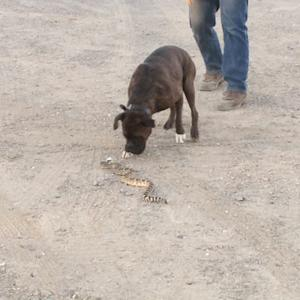 Training dogs to avoid rattlesnakes