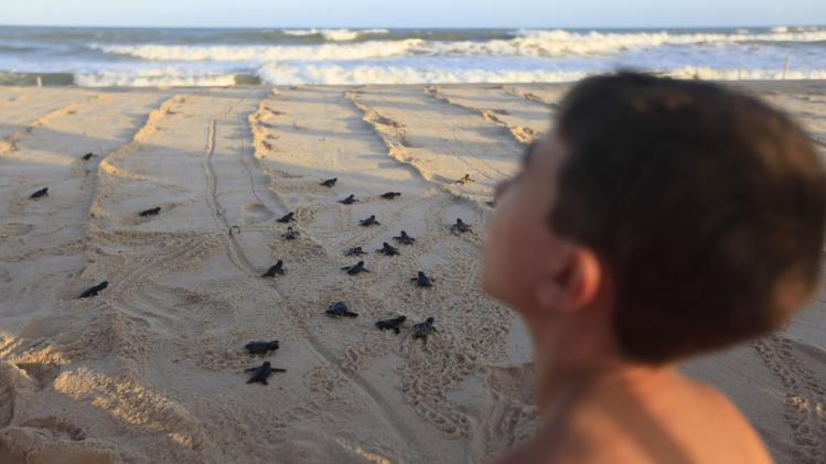 A boy releases baby loggerhead sea turtles on the beach with members of the Brazilian Sea Turtle National Conservation Program at the Costa do Sauipe resort in Sao Joao da Mata