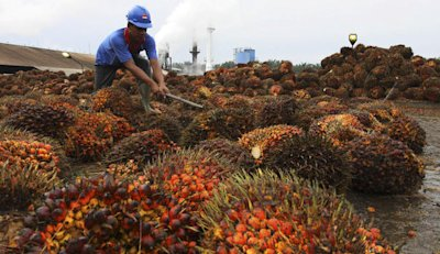 UN NON-SENS ECOLOGIQUE DEFENDU PAR LES SOCIALISTES ET LES MONDIALISTES: L'HUILE DE PALME 1160098-a-worker-unloads-palm-fruit-at-a-local-palm-oil-factory-in-langkat-jpg_135550