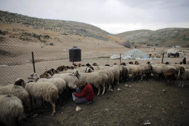 Family member of Palestinian shepherd tends to sheep at Ein el Hilwe in the Jordan Valley
