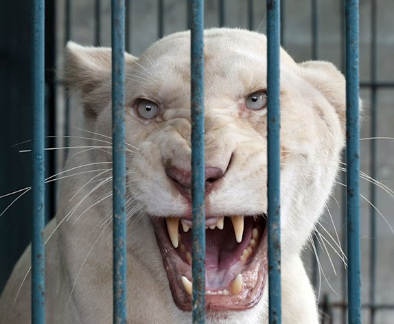 A lioness bares its teeth inside an enclosure after a raid at a zoo-like house on the outskirts of Bangkok, Thailand Monday, June 10, 2013. Thai police and forestry officials searched and seized a number of imported and endangered animals including 14 lions from Africa and arrested the house's owner. (AP Photo/Apichart Weerawong)