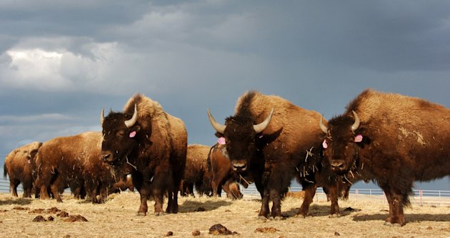 File-In an April 24, 2012 file photo a herd of bison are on the Fort Peck Reservation near Poplar, Mont.   The Montana Supreme Court has reversed a lower court ruling that blocked transfers of Yellows