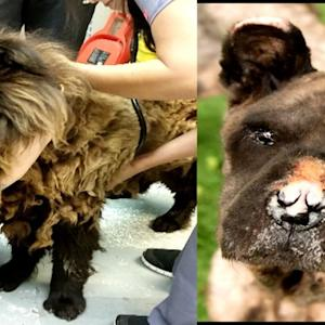 Noseless, Blind Dog Miraculously Transforms After Pounds of Hair Shaved Off