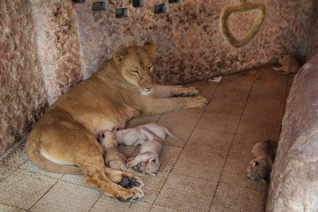 Pakistani pet lion gives birth to five cubs
