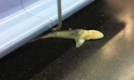 Dead 4ft Shark Found On New York Subway Train