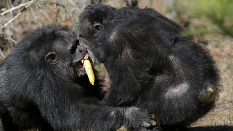Two chimps tussle for food at Chimp Haven in Keithville, La., Tuesday, Feb. 19, 2013. One hundred and eleven chimpanzees will be coming from a south Louisiana laboratory to Chimp Haven, the national sanctuary for chimpanzees retired from federal research. (AP Photo/Gerald Herbert)