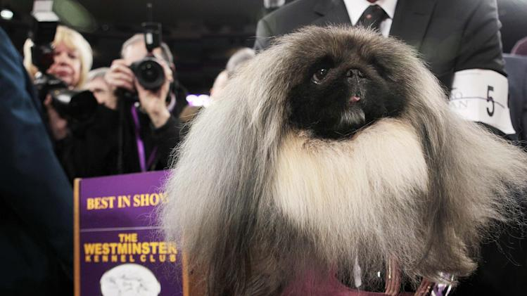 Malachy, a Pekingese, sits in the trophy after being named best in show at the 136th annual Westminster Kennel Club dog show in New York, Tuesday, Feb. 14, 2012. (AP Photo/Seth Wenig)