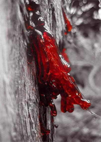 Kỳ lạ loài cây tiết ra 'máu rồng'