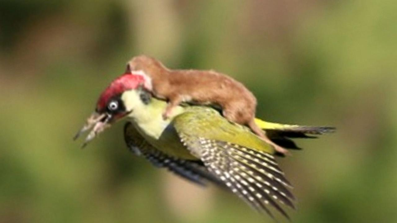 Woodpecker Takes Weasel On the Ride of Its Life