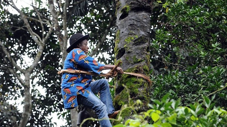 Palm wine tapper Anthony Ozioko climbs a 50-foot palm tree in Eha-Alumona, southeastern Nigeria on August 8, 2013