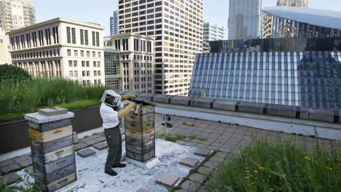 In this photo taken Tuesday, July 12, 2011, beekeeper Michael Thompson, applies smoke, to settle down the more than 1000,000 bees in a hive on top of City Hall in Chicago. (AP Photo/Charles Rex Arbogast)