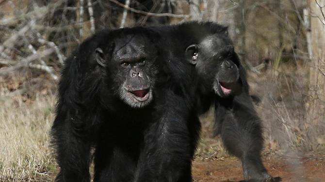 """FILE - This Feb. 19, 2013 file photo shows two chimps walking together at Chimp Haven in Keithville, La. The government is about to retire most of the chimpanzees who've spent their lives in U.S. research labs. The National Institutes of Health said Wednesday that it will retire about 310 chimps from medical research over the next few years, saying humans' closest relatives """"deserve special respect.""""The agency will keep only 50 other chimps essentially on retainer _ available if needed for crucial medical studies that could be performed no other way. (AP Photo/Gerald Herbert, File)"""