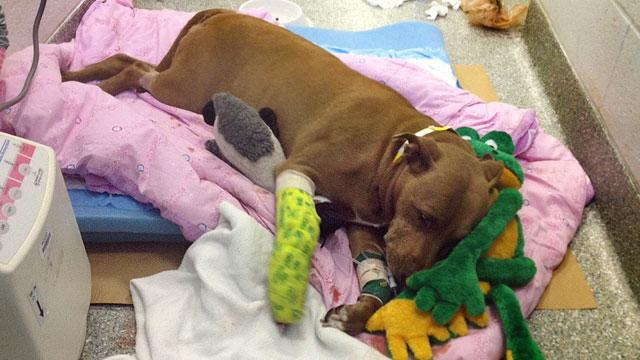 Pit Bull Rescues Unconscious Owner from Oncoming Train