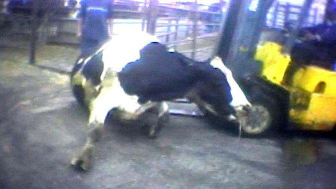 """FILE - In this April 22, 2010 image from video provided by the United States Humane Society, a Hallmark Meat Packing slaughter plant worker is shown attempting to force a """"downed"""" cow onto its feet by ramming it with the blades of a forklift in Chino, Calif. State legislators across the country are introducing laws making it harder for animal welfare advocates to investigate cruelty and food safety cases. Bills pending in California, Nebraska and Tennessee require that anyone collecting evidence of abuse turn it over to law enforcement within 24 to 48 hours - which advocates say does not allow enough time to document illegal activity under federal humane handling and food safety laws. Critics say the bills are an effort to deny consumers the ability to know how their food is produced. (AP Photo/Humane Society of the United States, file)"""