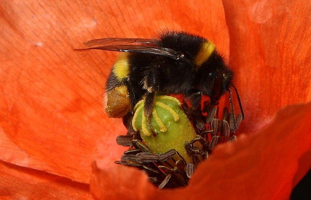 Scientists say bumblebees are able to find and decipher weak electric signals emitted by flowers