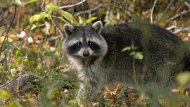 The Department of Transportation Renewal and Infrastructure says residents near Murray River have reported a raccoon and rodent infestation in a series of abandoned buildings.