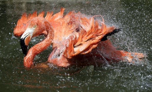 A Caribbean flamingo splashes in the pond on a hot day at the Stone Zoo in Stoneham, Mass., Monday, July 2, 2012. (AP Photo/Elise Amendola)