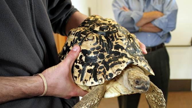 FILE - In this undated file photo provided by Katlyn R. Gerken, a staff member of the National Mississippi River Museum & Aquarium in Dubuque, Iowa holds Cashew, an 18-pound African leopard tortoise.  The museum said Friday, April 5, 2013, that an employee found the tortoise behind paneling in her enclosure and hid her in an elevator in a misguided attempt to prevent further embarrassment after officials announced Tuesday that they believed Cashew had been stolen.  (AP Photo/Katlyn R. Gerken, File)