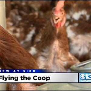 500 Chickens Once Scheduled For Slaughter Get First Taste Of Freedom