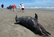 A dead dolphin lying on a beach on the northern coast of Peru, close to Chiclayo, some 750 km north of Lima, in March 2012. Thousands of crustaceans were found dead off the coast of Lima following the mystery mass death of dolphins and pelicans, the Peruvian Navy said Friday