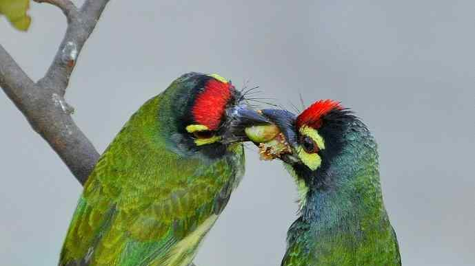 Travel Wildlife Coppersmith Barbets